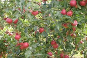 les pommes Ariane dans leurs vergers