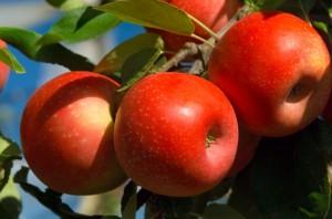 Comment cuire des pommes