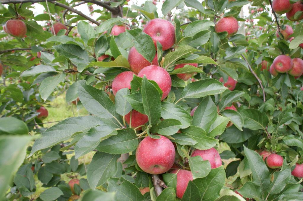 Les pommes Ariane dans leur verger