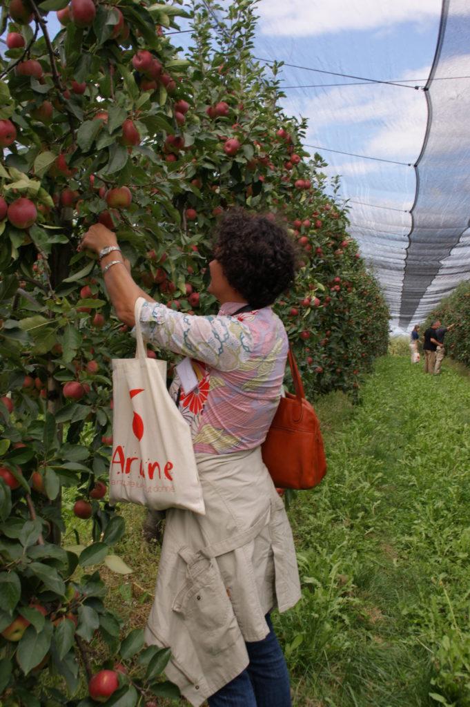 cueillette des premières pommes Ariane de 2014