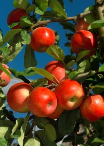 Pommier, Les bienfaits du jus de pommes