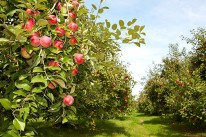 Pomme Ariane récolte